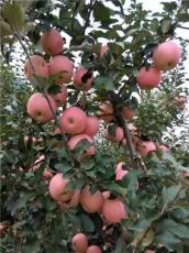 山東紅富士蘋果收購基地 價格 入庫價格