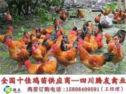 贵州青脚麻鸡苗铁脚麻鸡苗