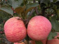 山東精品紙袋紅富士蘋果產地批發價格
