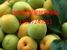 富農果樹苗木柿樹苗 核桃樹苗 蘋果樹苗