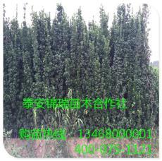 基地直銷北海道黃楊 低價供應北海道黃楊苗