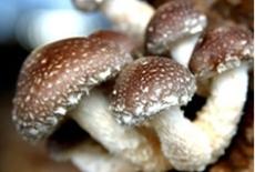 出售食用菌皇后優質香菇