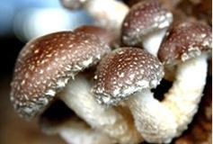 出售食用菌皇后优质香菇