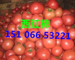西红柿产地山东临沂西红柿种植基地批发行情