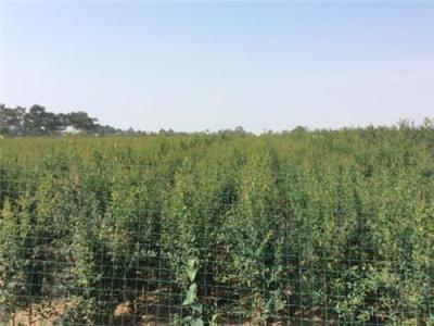河阴吴家石榴树苗 河阴石榴树苗的栽培与管
