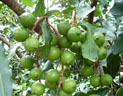 供应中华坚果苗基地 澳洲坚果苗一号 南亚2