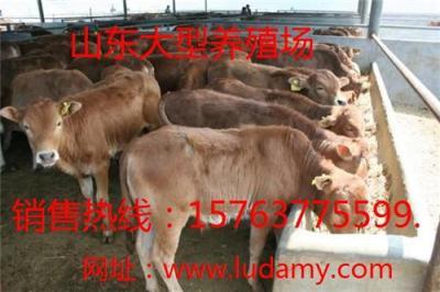 鲁西黄牛养殖方法